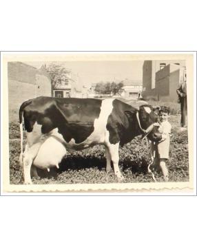 Fernando Carvajales con su vaca en la lechería que se encontraba en la calle General Ricardos del barrio de Carabanchel de Madrid. Año 1955. Donada por Francisco Aguado Rubira.